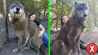 Abrigo resgatou esse cão-lobo gigante, logo um DNA revelou porque era tão grande