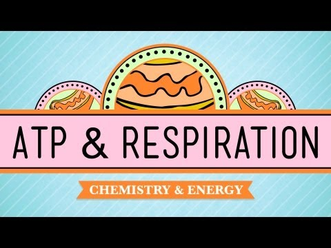 ATP &amp; Respiration: Crash Course Biology #7