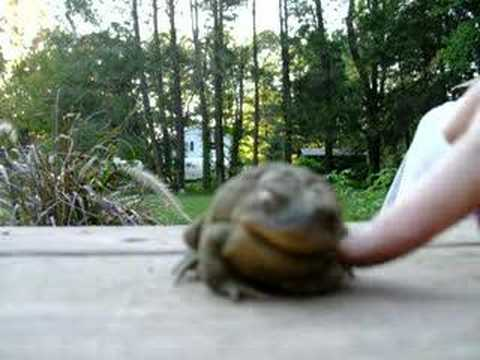 Ticklish toad