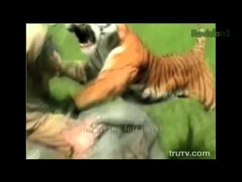 Охота на тигра-людоеда!!! Реальное нападение!!! Tiger vs Men
