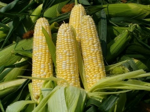 Monsanto Lied, GMO Corn Filled with Toxins