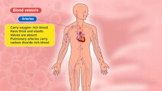 Class 7 Science Blood Vessels