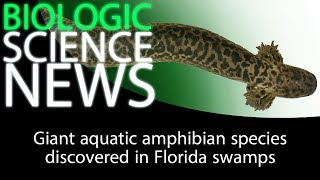 Science News - Giant aquatic amphibian species discovered in Florida swamps