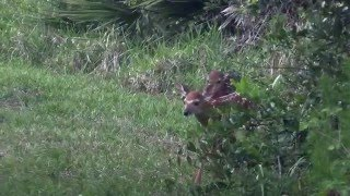 Two fawns in Florida