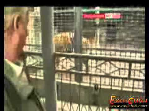 Live Cows Fed to Tigers in Chinese Wildlife Parks