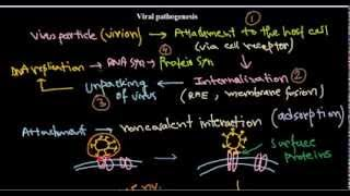 7  Replication of DNA viruses