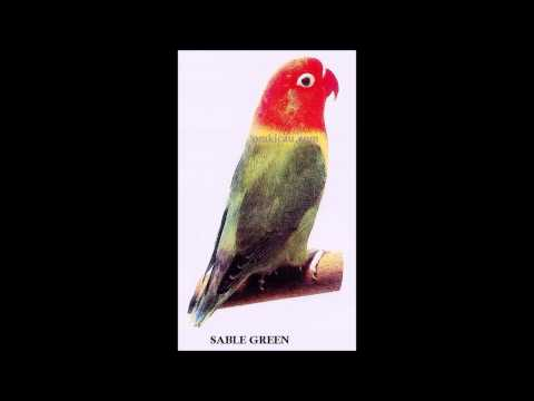 Burung Lovebird Sable Dominant - Sable Green Dan Sable Yellow - Omkicau video