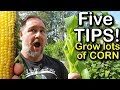 5 Tips How To Grow A Ton Of Sweetcorn In One Raised Garden Bed Or Container mp3