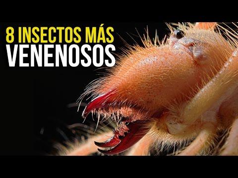 8 Insectos MÁS PELIGROSOS Del Mundo Mundial xD