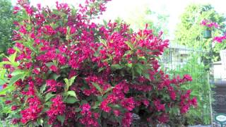 Fast Growing Red Weigelia