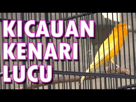 Kicauan Burung Kenari Kuning Lucu video