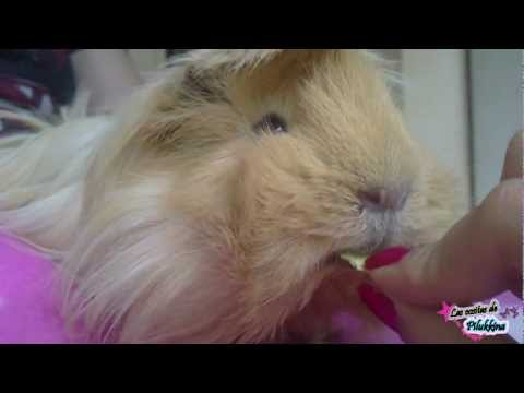 guinea-pig-cobaya-meerschweinchen-cochon-d-inde-.html