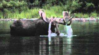 Big bull moose feeding in lake at dusk - Glacier National Park - August 2012