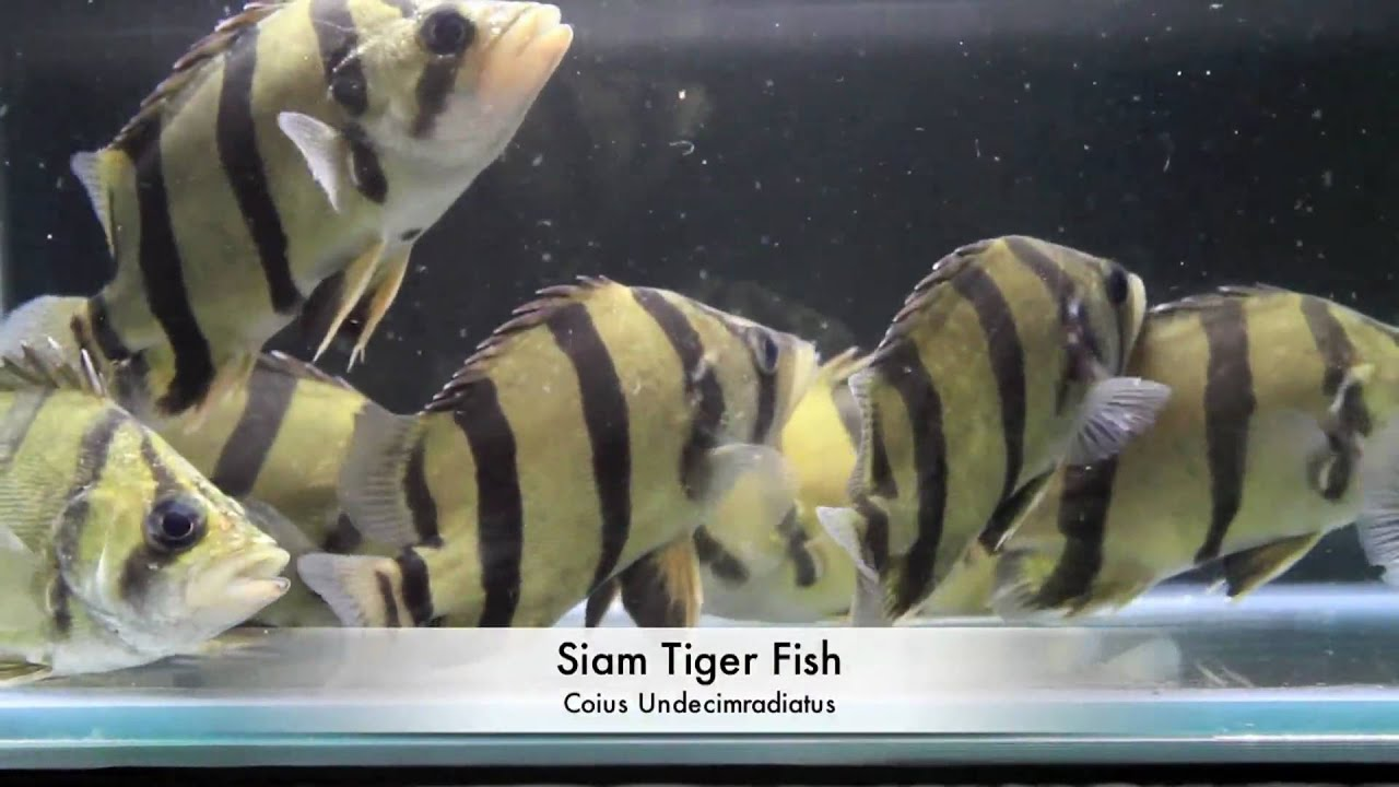 Siam tiger fish aquarium tropical fish youtube for Tiger fish pictures