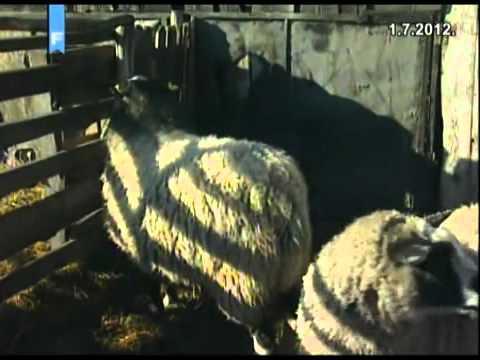 Boće, Posavina: Romanovske ovce