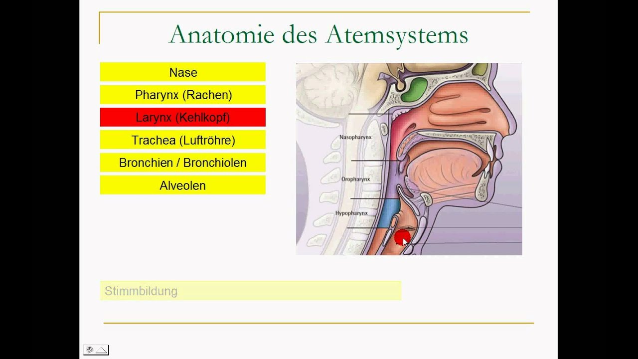 Atmungssystem Anatomie image information