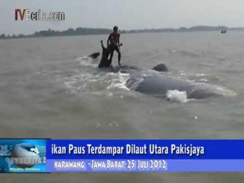 Ikan Paus Terdampar Dipantai Pakisjaya Karawang