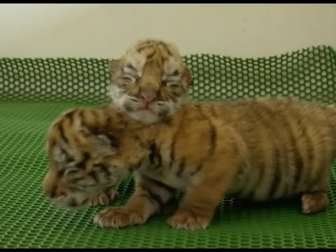 28 New Siberian Tiger Cubs Born in Northeast China Park