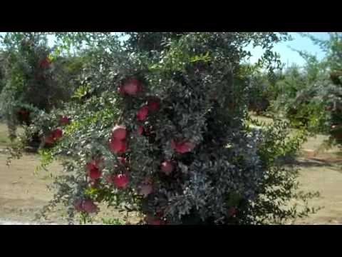 Pomegranate Orchard, Lost Hills California