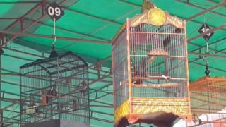 Lomba Burung Cililin | Launching BNR Sambas