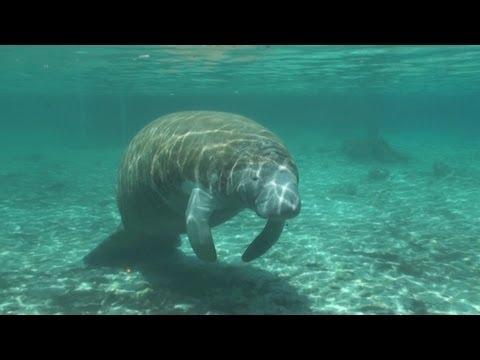 Manatees: I Saw Manatees Gang Rape A Crippled Manatee Once, Really - Horrifying Planet - Ep. 10