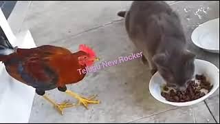 Funny animals fight cat vs hen THTN