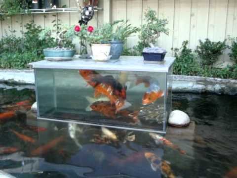 A floating dome that lets fish take a peek out of the pond for Pool koi goggles