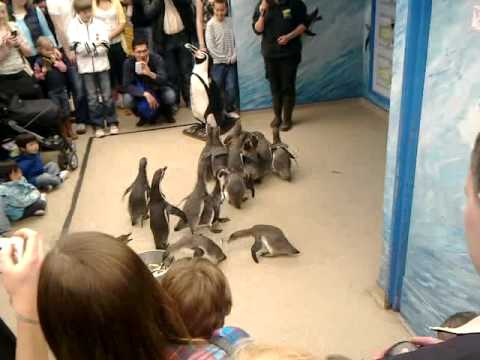 Colchester Zoo Penguin Feed