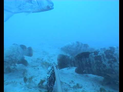 Huge cod and red emperor near Trawler Wreak, GBR
