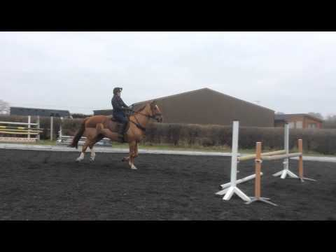 11-year-old gentleman Irish Sports Horse for sale