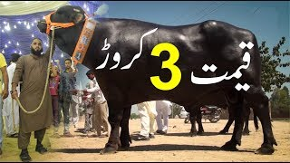 3 CRORE  World Most Expensive Eid Cow 2020 || 3 CRORE Ka Janwar in Sohrab Goth Cow Mandi 2020