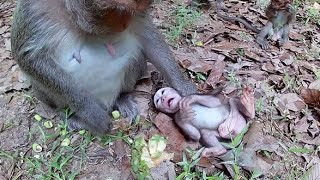 Poor baby monkey - monkey mom is very tired taking care of her baby