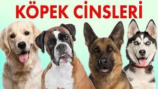 Köpek Cinsleri ve Özellikleri - Köpek Irkları 1. Bölüm | Konuşan Kedi Çeto