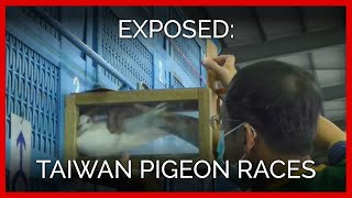 Taiwan Pigeon Races Exposed: Millions of Dead Birds