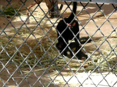 Baby Black Mangabey Monkey Video