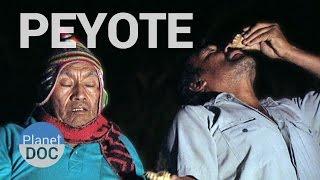 Peyote, el Cactus San Pedro. Precursores del Inca