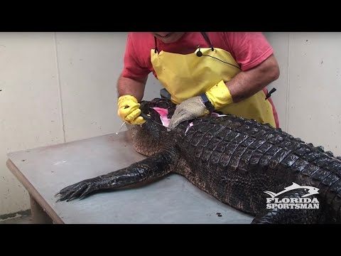 How to Clean Fillet Debone and Skin an Alligator