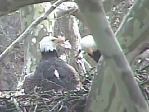 Duke Farms Eagle Duke Farms Eagles Killed Hawk