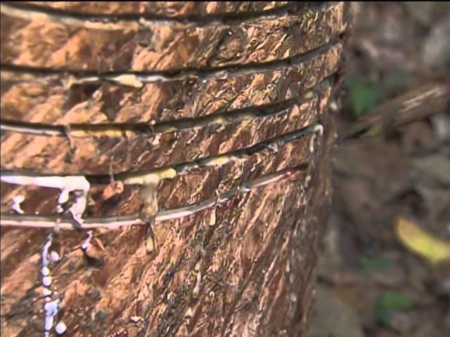 Liberados cerca de R$ 20 milhões para apoiar produção da borracha natural