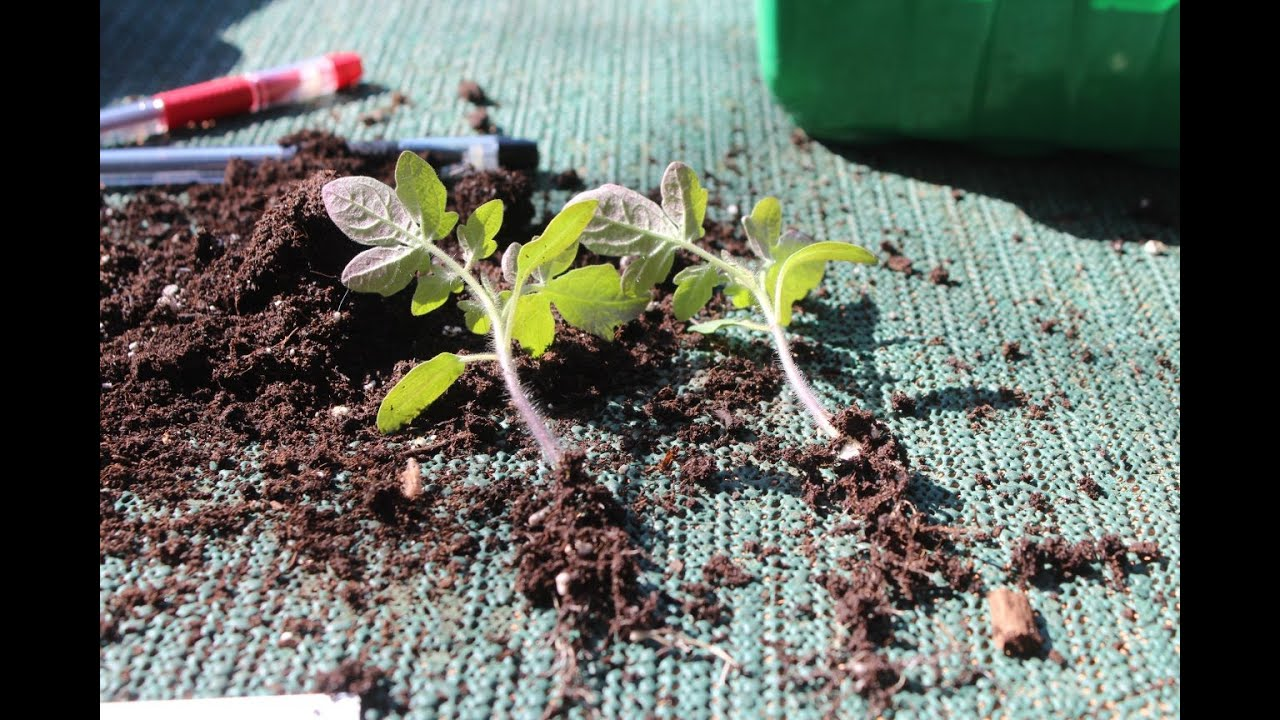 Как пикировать томаты на рассаду 51
