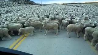 Flock of Sheep Blocks the Road