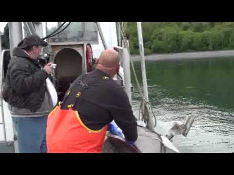 Halibut Fishing in Kodiak Alaska with 120 lbs Halibut