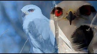 Loài chim có đôi mắt đỏ kỳ lạ săn mồi về đêm