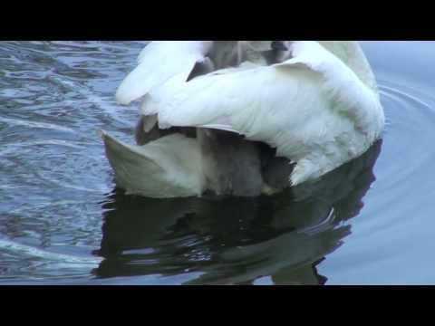 優雅に泳ぐ白鳥のママの背中に必死にしがみつく赤ちゃん達w