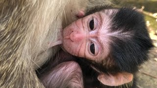 Look! Newborn Baby Monkey AIDEN with Good Nurse From MARIA Mommy Monkey.