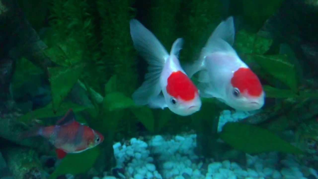 Peces oranda cabeza de le n agua fr a full hd youtube for Criaderos de peces de agua fria