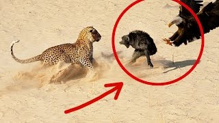 Leopard vs Eagle vs Baboons attack the death | Leopardo vs Aguila Vs Babuino 2015