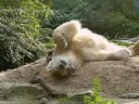Very relaxed and sandy Knut!