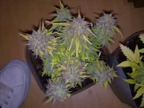 homemade grow box.delicious ganja.indoor  (autoflowering)...armario de cultivo.(seguimiento)250w