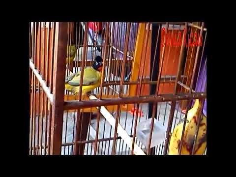 burung kutilang emas gacor untuk pikat